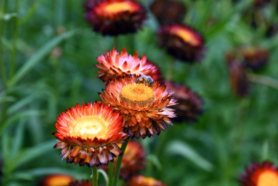 Straw Flowers Close-up